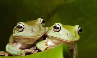 Photo of two frogs