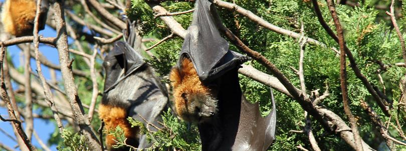 Photo of grey-headed flying foxes in a tree